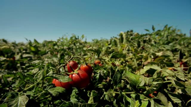 agricultura rega farm tomates - tomato stock videos & royalty-free footage