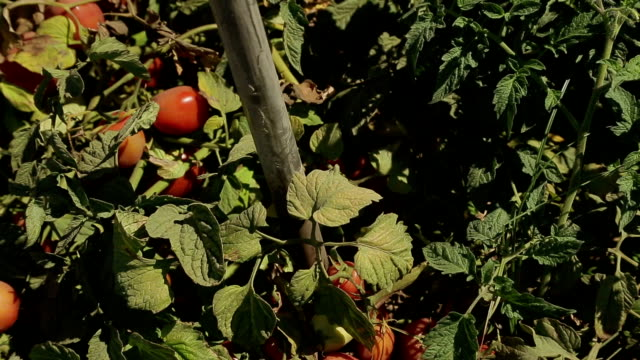 agricultura rega farm tomates - agricultura stock videos & royalty-free footage