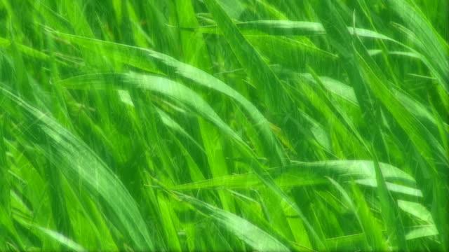 stockvideo's en b-roll-footage met hd: agriculture /wheat (green texture) - volkorentarwe