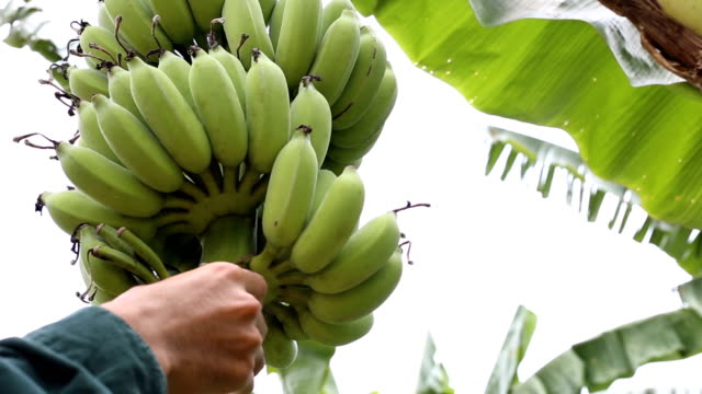 agriculturist checking quality of fresh banana - banana stock videos & royalty-free footage