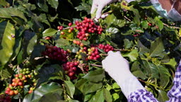 Agriculturist hands Harvesting Red and Yellow fresh Ripe Arabica or Robusta an organic coffee berries beans. Farmer crop fruit by hand in plantation. Coffee tree plantations field background concept.