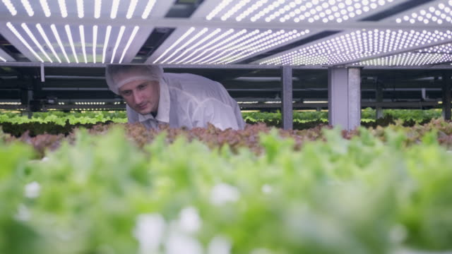 agri-tech specialist examining led lit living lettuce - caucasian appearance stock videos & royalty-free footage