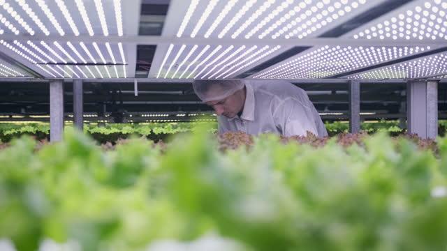agri-tech-spezialist untersucht led lit living salat - biotechnologie stock-videos und b-roll-filmmaterial