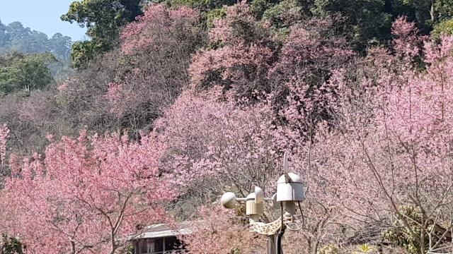 agronom meteorologisches instrument zur messung der windgeschwindigkeit, wilde himalaya kirschblüte tablet computer sammeln von daten mit - frühling stock-videos und b-roll-filmmaterial