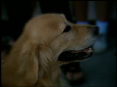 air bud at the 'air bud golden receiver' premiere at sherman oaks in los angeles california on august 8 1998 - sherman oaks stock videos & royalty-free footage
