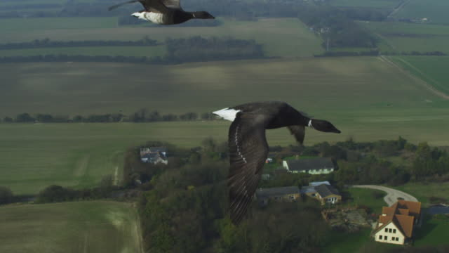 air to air ha ms flying alongside 2 brent geese with fields in background - three animals stock videos & royalty-free footage