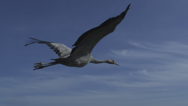slomo air to air ms flying alongside common crane gliding against clear sky then flying over shoreline  - air to air shot stock videos and b-roll footage