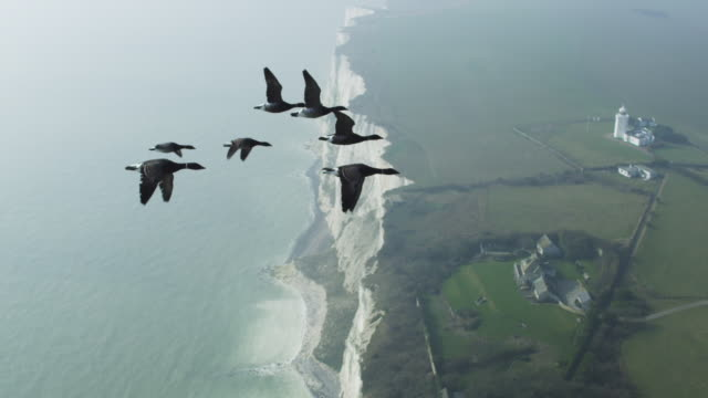 air to air ha cu flying alongside family of brent geese very close to camera with chalk cliffs in background - limb body part stock videos & royalty-free footage