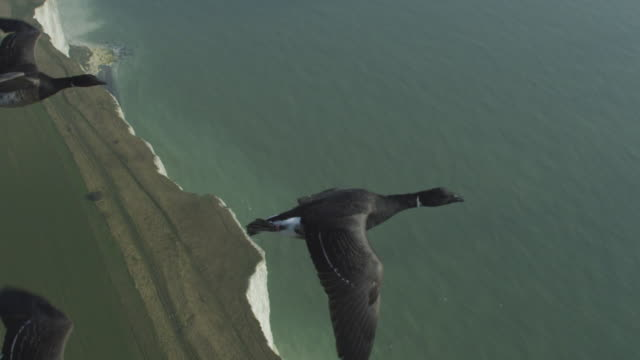 air to air ha cu flying alongside family of brent geese very close to camera with chalk cliffs in background - 50 seconds or greater stock videos & royalty-free footage