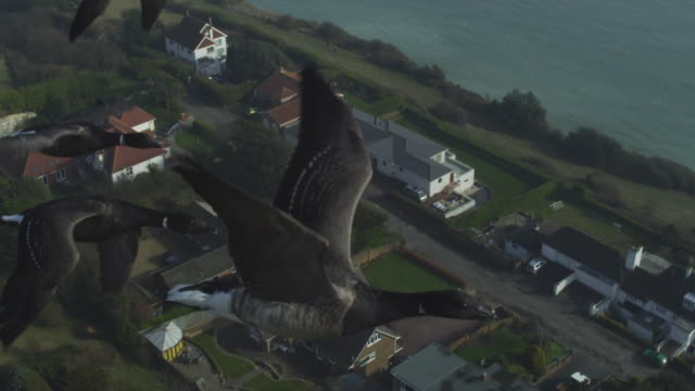 air to air ha cu flying alongside family of brent geese very close to camera with houses and coastline below - small group of animals stock videos & royalty-free footage