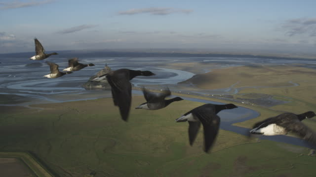 vidéos et rushes de air to air cu flying alongside family of brent geese very close to camera with mont st michel in background  - migration des animaux