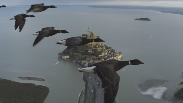 Air to Air HA CU flying alongside family of Brent Geese very close to camera with Mont St Michel in background with birds calling