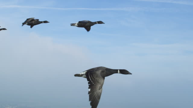 air to air ms flying alongside family of brent geese with chalk cliffs in background - 50 seconds or greater stock videos & royalty-free footage