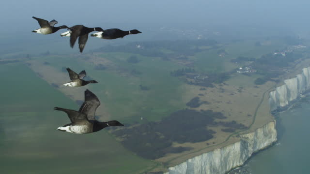 air to air ms flying alongside family of brent geese with chalk cliffs in background - small group of animals stock videos & royalty-free footage