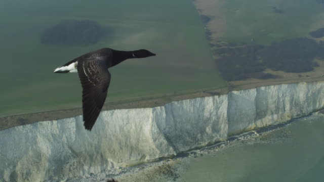 air to air ha tu flying alongside family of brent geese  with chalk cliffs in background - air to air shot stock videos & royalty-free footage
