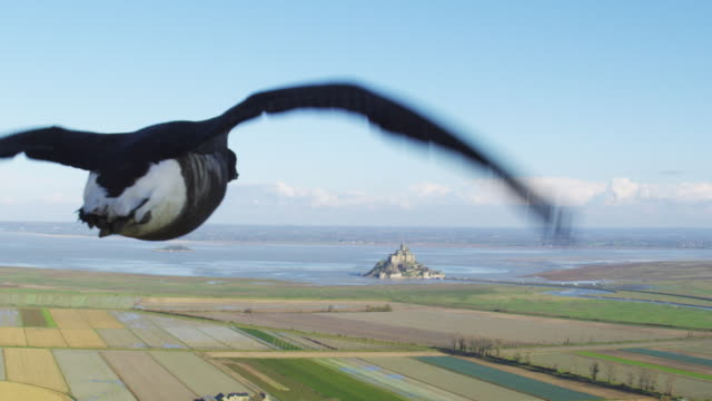 Air to Air CU flying alongside then behind family of Brent Geese very close to camera with Mont St Michel in background