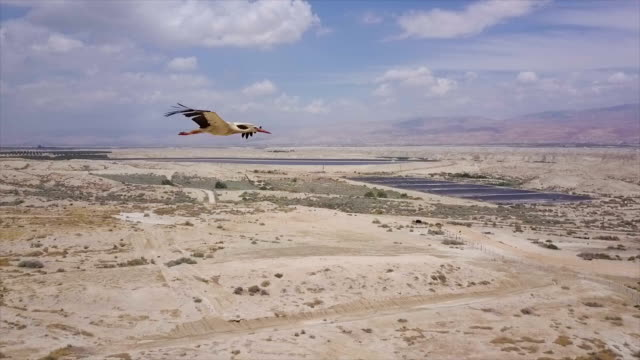 air to air  flying alongside with a white stork in the jordan valley/ slow motion - migrating stock videos & royalty-free footage