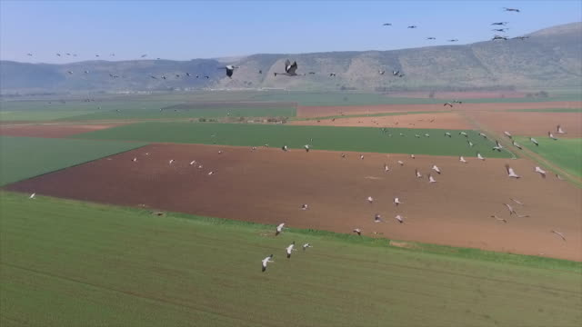 air to air  flying alongside with common cranes  in the hula valley/ slow motion - クロヅル点の映像素材/bロール