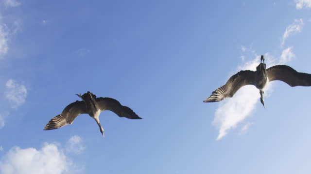 air to air ws la flying behind 2 common cranes gliding in clear air with feet down - クロヅル点の映像素材/bロール