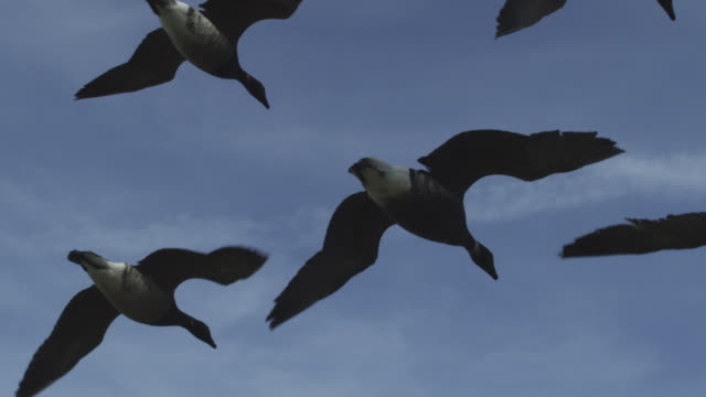 air to air la ms flying behind family of brent geese with clear sky in background - small group of animals stock videos & royalty-free footage