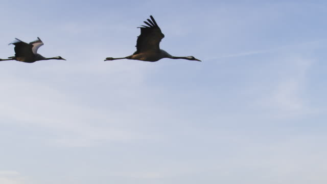 air to air ws flying with 2 common cranes in clear air then td to reveal lagoon and islands in evening light  - two animals stock videos & royalty-free footage