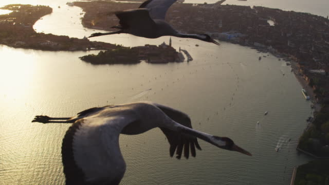 Air to Air MS flying with 2 Common Cranes over Venice in evening light TD to single MS then TU to reveal second crane