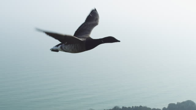 air to air ha tu flying with brent goose very close to camera with houses and chalk cliffs below - air to air shot stock videos & royalty-free footage