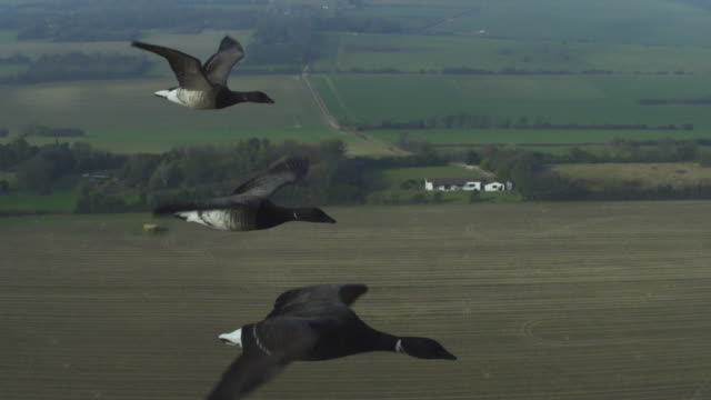air to air ha cu flying with brent goose with fields in background tu to group - small group of animals stock videos & royalty-free footage