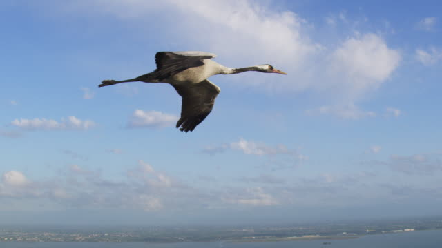 air to air ws la flying with common crane gliding in clear air  - クロヅル点の映像素材/bロール