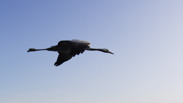 air to air ms flying with common crane gliding in clear sky - 翼を広げる点の映像素材/bロール