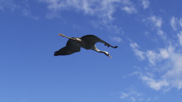 air to air la ms flying with common crane gliding in clear sky - クロヅル点の映像素材/bロール