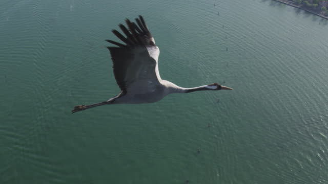 air to air ws flying with common crane over open water and coast tu to reveal second crane - eurasischer kranich stock-videos und b-roll-filmmaterial