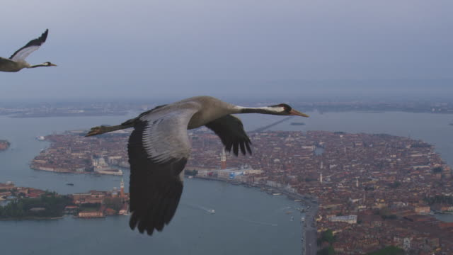 air to air ms flying with common cranes over venice with st marks in background - クロヅル点の映像素材/bロール