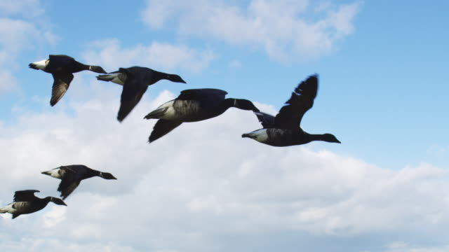 air to air flying with family of brent geese very close to camera td to ms single goose with fields and shoreline in background  - oca uccello d'acqua dolce video stock e b–roll