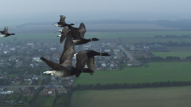 air to air flying with family of brent geese with english village in background - medium group of animals stock videos & royalty-free footage