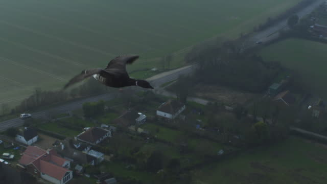 air to air ha cu flying with family of brent geese with farmland and houses in background - water bird stock videos & royalty-free footage