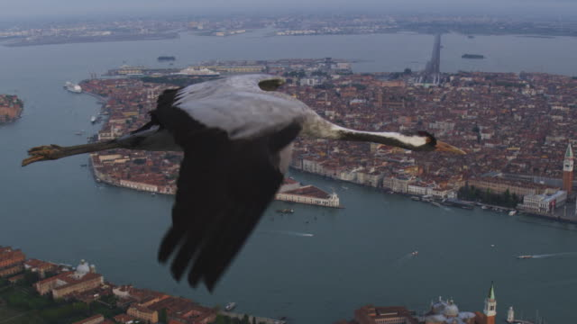 air to air ms into cu flying with common crane over venice with st marks in background reveal 2 more cranes in formation - クロヅル点の映像素材/bロール