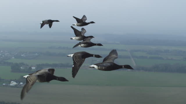 air to air cu into ms flying with family of brent geese with fields in background - medium group of animals stock videos & royalty-free footage