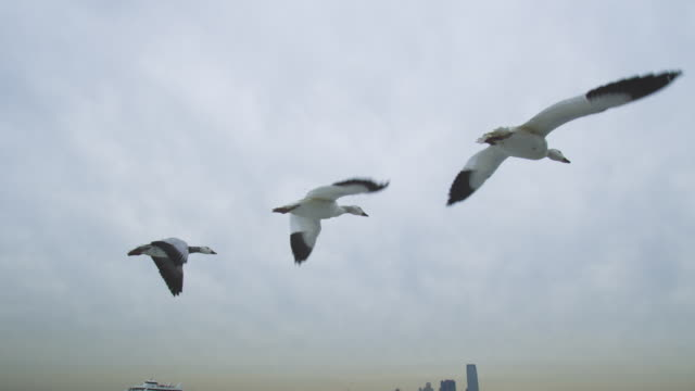 Air to air LA tracking behind Snow Goose family flying low over New York harbour with boat in background