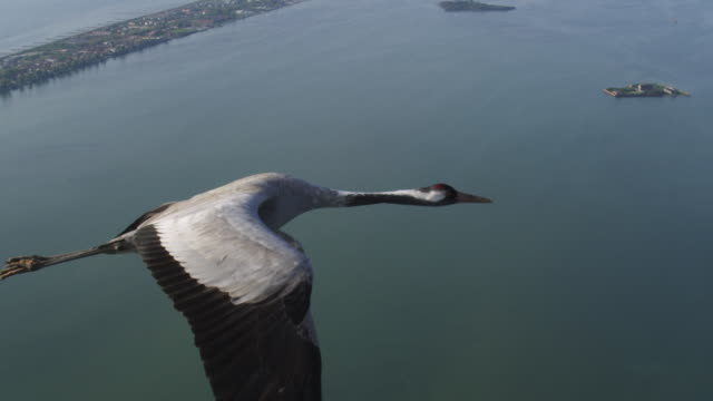 air to air ws tracking into cu flying with common crane over venice lagoon with sea and shore in background - eurasischer kranich stock-videos und b-roll-filmmaterial