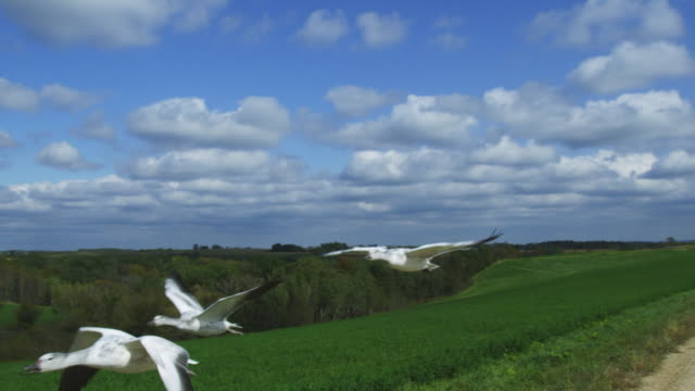 Air to air MS tracking with Snow Goose family flying low over fields and bushes