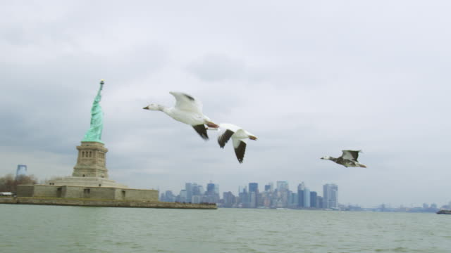 air to air tracking with snow goose family flying low over hudson river with statue of liberty in background - migrazione animale video stock e b–roll
