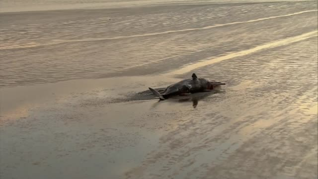air views dead whales; air view beach and single whale carcass - close shot of carcass / air view deserted beach - dead animal stock videos & royalty-free footage