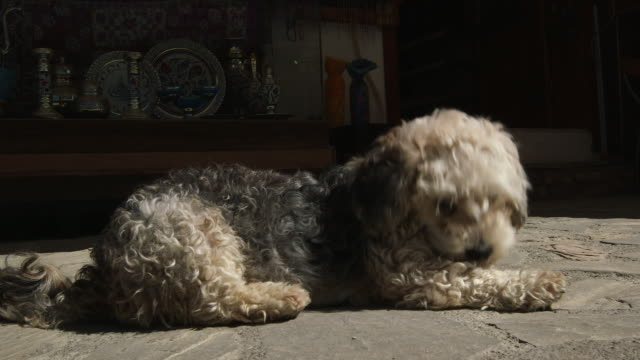 stockvideo's en b-roll-footage met airedale puppy - wiese
