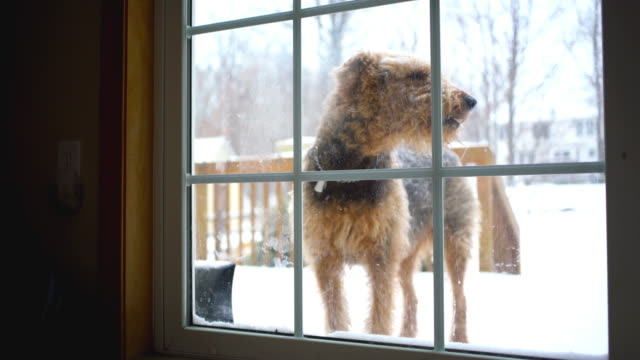 Airedale terrier dog want to return into house from backyard