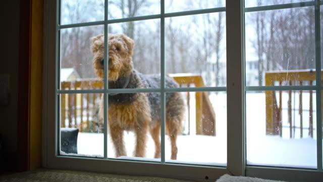 Terrier chien Airedale envie de revenir dans Maison de jardin