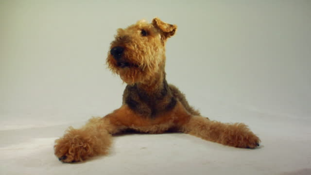 sm la ms airedale terrier lying down, panting, and looking around / boston, massachusetts, usa - braun stock-videos und b-roll-filmmaterial