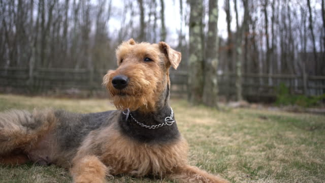 Airedale terrier lying on the backyard of the country house