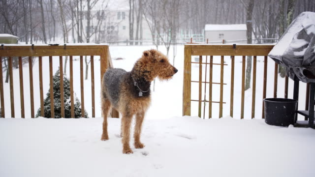 airedale terrier on the country house's deck in winter - deck stock videos & royalty-free footage