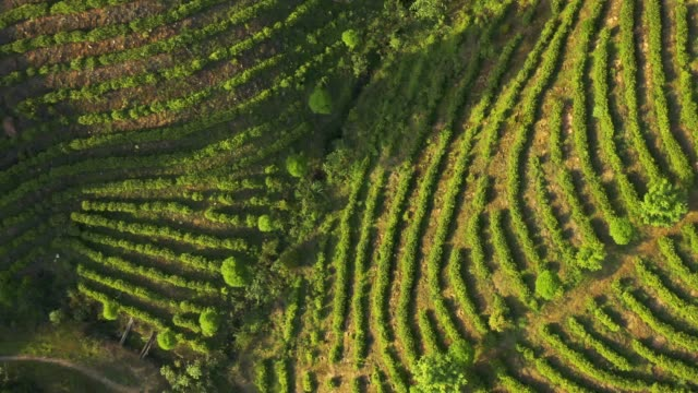 airplane aerial green tea plantation - rice stock videos & royalty-free footage
